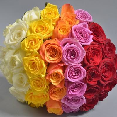 Florarie Iasi Rainbow Rose