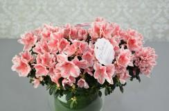 azalee Florarie Iasi