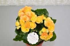 Begonia Florarie Iasi