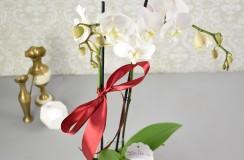 Phalaenopsis Florarie Iasi