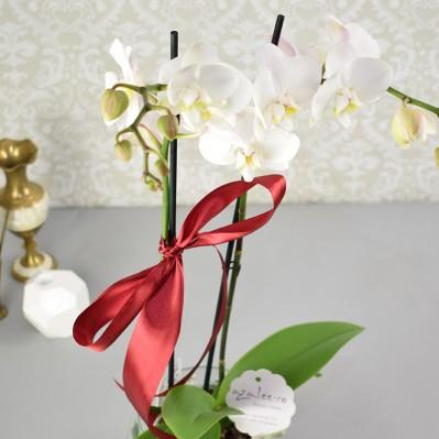 Phalaenopsis Alb