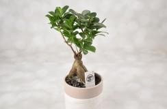 Ficus Florarie Iasi