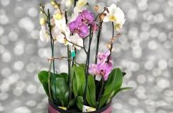 Orhidee Phaleonopsis Florarie Iasi